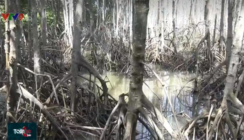 Nhiều diện tích  rừng tại Bến Tre bị chết
