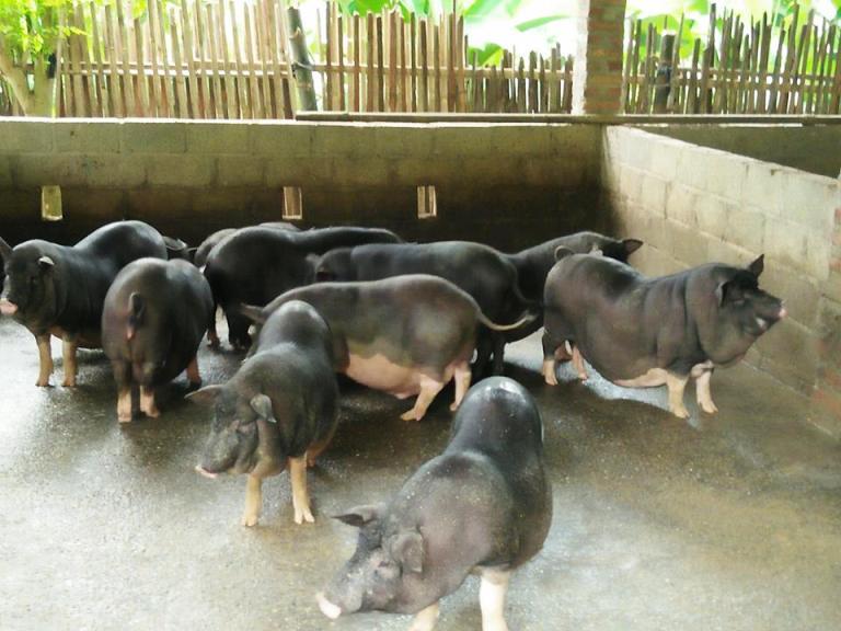 Vĩnh Phúc: Chủ động các biện pháp phòng chống dịch tả lợn Châu Phi