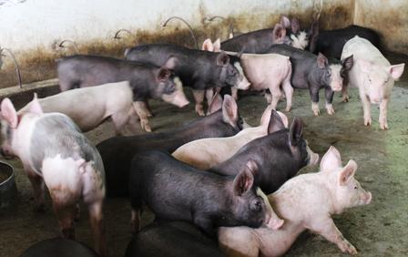 Vĩnh Phúc: đẩy mạnh phòng, chống dịch bệnh cho đàn vật nuôi vụ Thu - Đông