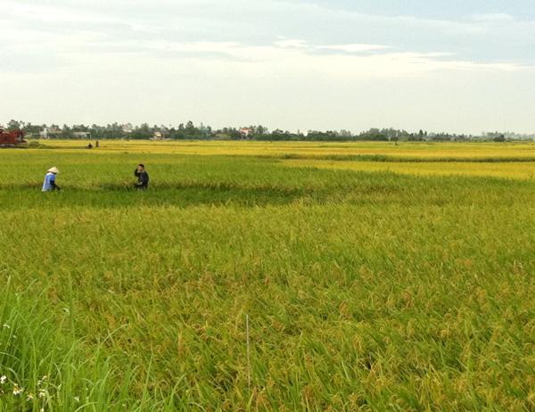 Lập Thạch (Vĩnh Phúc): Sản xuất nông nghiệp áp dụng các biện pháp canh tác, giống mới đem lại năng suất cao
