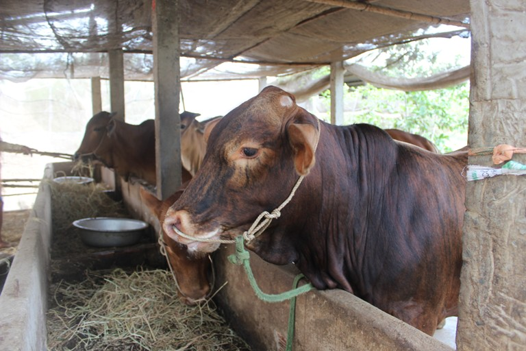 Phát triển chăn nuôi đại gia súc theo hướng sản xuất hàng hóa