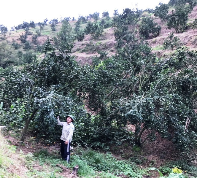Tỷ phú cam ở Bắc Quang (Hà Giang)