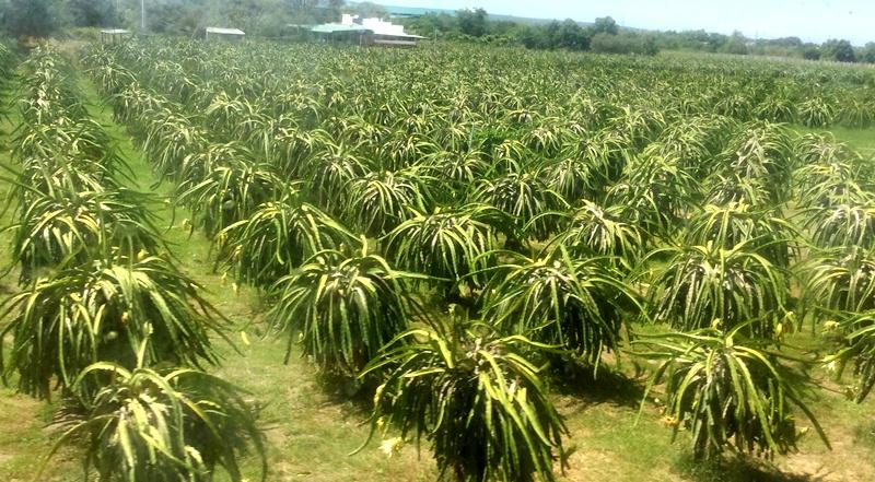 Bình Thuận: Giá thanh long loại 1 tăng lên 15.000 đồng/1kg