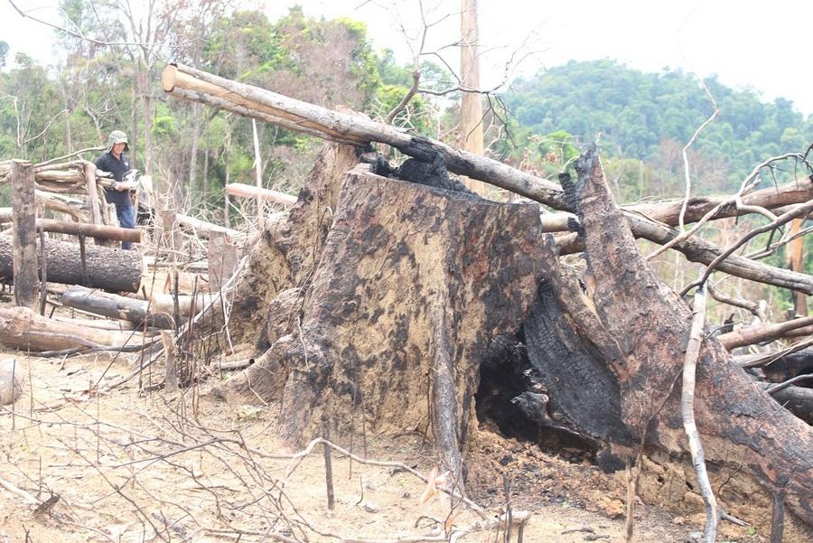 Tuyên án các bị cáo vụ phá rừng phòng hộ Tiên Lãnh (Quảng Nam)