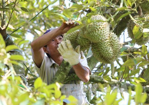 Tìm đầu ra bền vững cho trái cây xuất khẩu