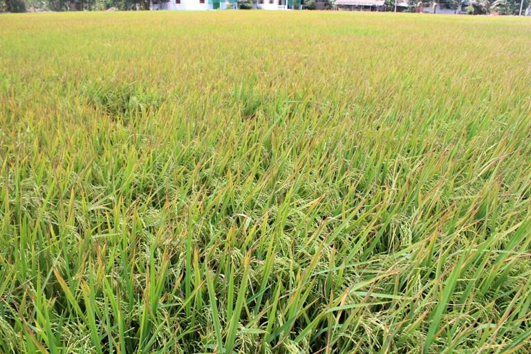 Vĩnh Tường (Vĩnh Phúc): Chủ động phòng trừ bệnh lùn sọc đen hại lúa năm 2019