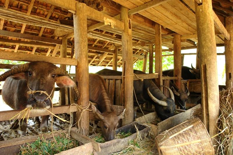 Hà Giang: Chủ động phòng, chống rét cho đàn gia súc