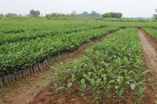 Bình Xuyên (Vĩnh Phúc): Tăng cường công tác quản lý giống cây trồng