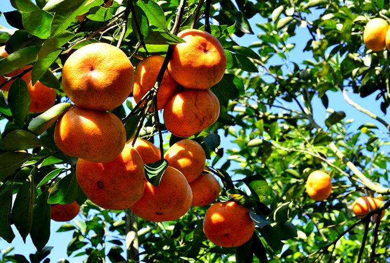 Sắc Xuân trên những cây quýt hồng Lai Vung
