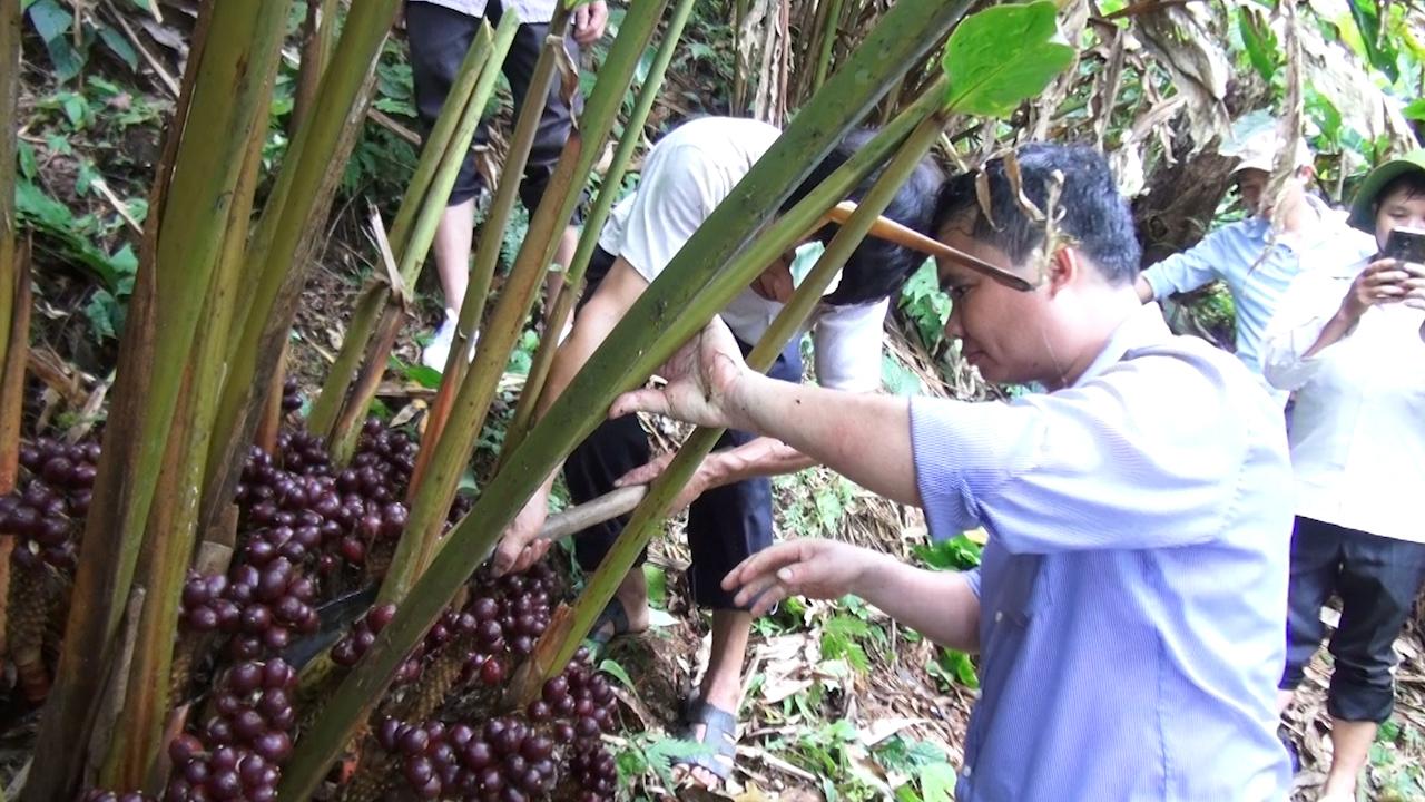Hà Giang: Thảo quả được mùa nhưng mất giá