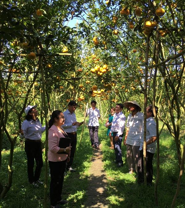 Lai Vung (Đồng Tháp): Nửa diện tích vườn quýt hồng đã xuất bán ra thị trường