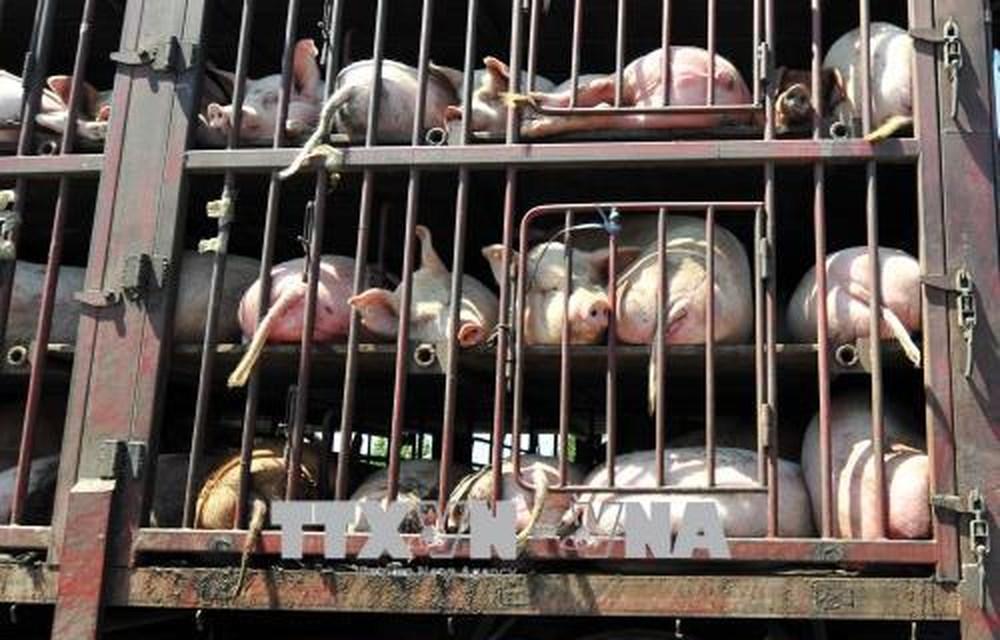 Các địa phương vùng biên không chủ quan với dịch tả lợn châu Phi