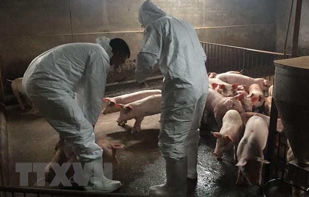 Chưa phát hiện thêm ổ dịch tả lợn châu Phi