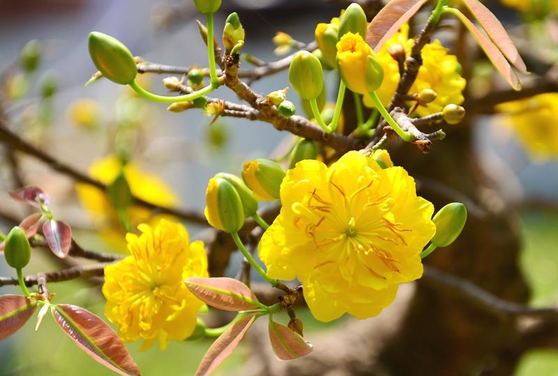 Rực vàng sắc mai đón mừng năm mới