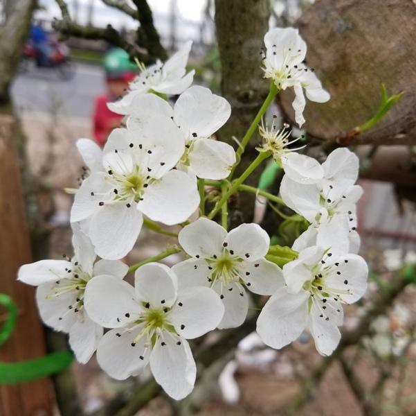Ngắm hoa lê trắng tinh khôi giữa lòng Thủ đô