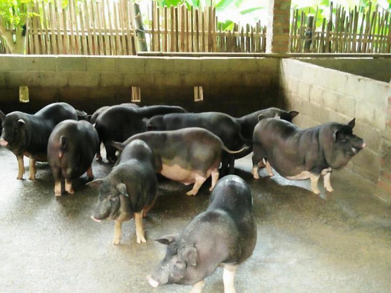 Triển khai cấp bách giải pháp ngăn chặn dịch tả lợn Châu Phi lây nhiễm vào Việt Nam