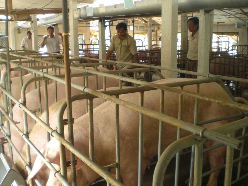 Quảng Ngãi: Tăng cường phòng, chống bệnh dịch tả lợn châu Phi  