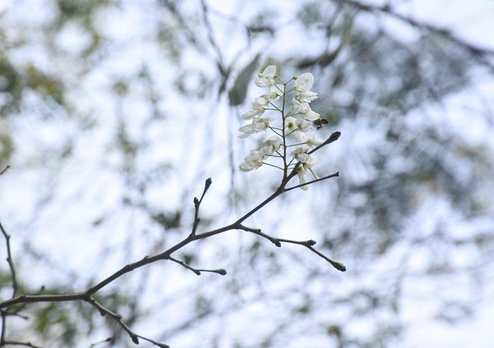 Hoa sưa khoe màu trắng tinh khôi trên các con phố Hà Nội