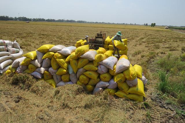 Các địa phương Đồng bằng sông Cửu Long triển khai các giải pháp thu mua lúa gạo