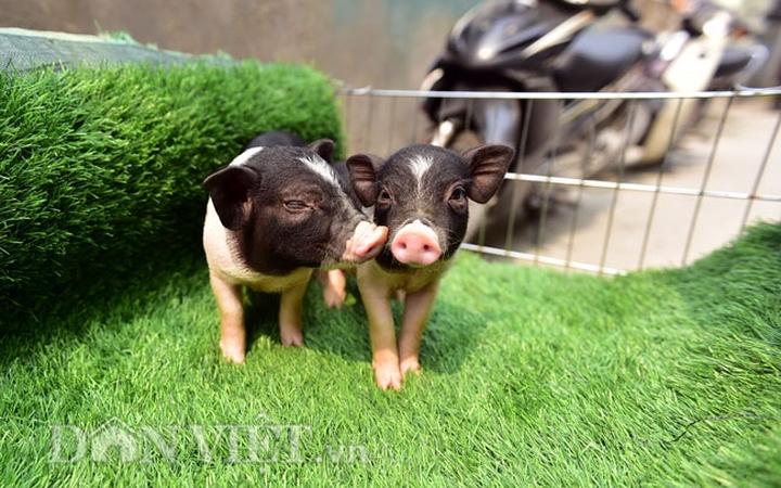 Kiểm soát chặt chẽ việc buôn bán, vận chuyển trái phép lợn cảnh mini qua biên giới