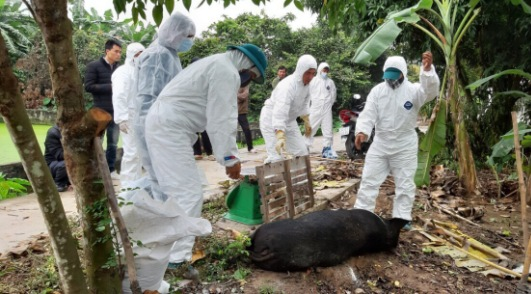 Hải Dương tập trung giảm thiểu thiệt hại cho hộ chăn nuôi mắc dịch tả lợn châu Phi