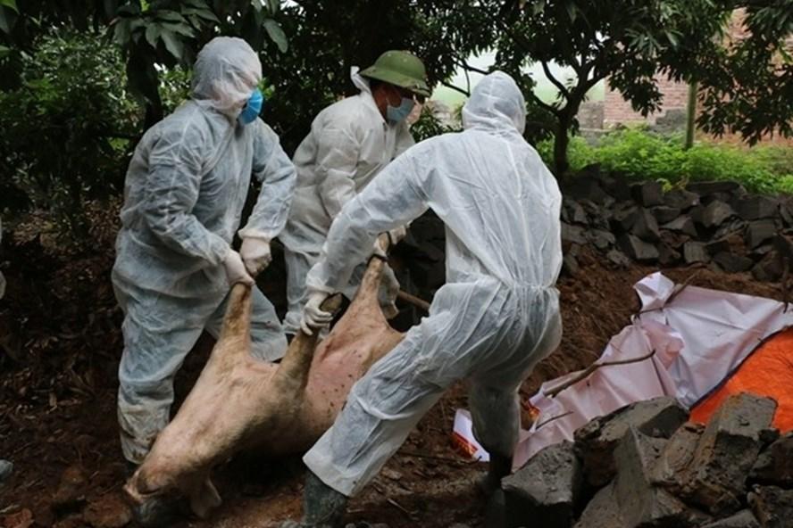 Hưng Yên  hỗ trợ 80% giá thị trường cho hộ có lợn bị dịch tả châu Phi phải tiêu hủy