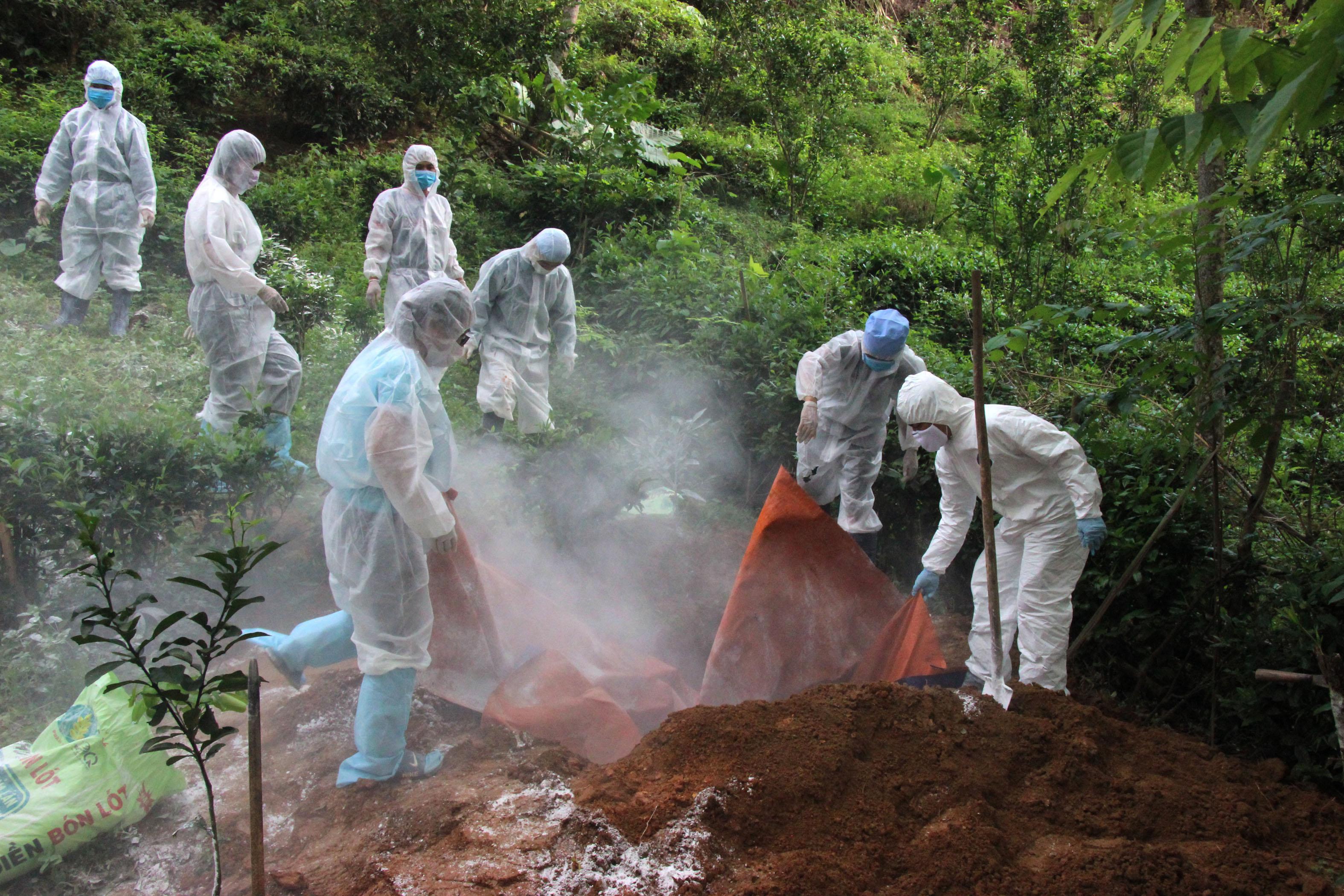 Phát hiện thêm một ổ dịch tả lợn châu Phi thứ 2 ở Hà Giang
