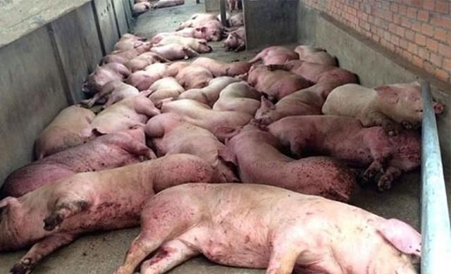 Kiểm soát, loại bỏ bệnh dịch tả lợn Châu Phi