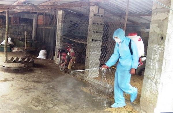Quảng Nam phát hiện ổ dịch tả lợn Châu Phi đầu tiên