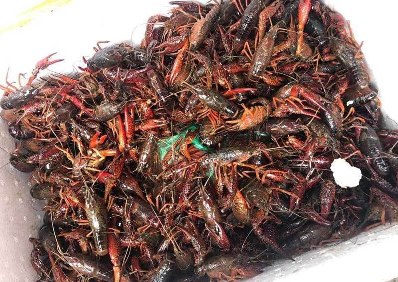 Kinh doanh, tiêu thụ tôm càng đỏ là vi phạm quy định về đa dạng sinh học và thủy sản