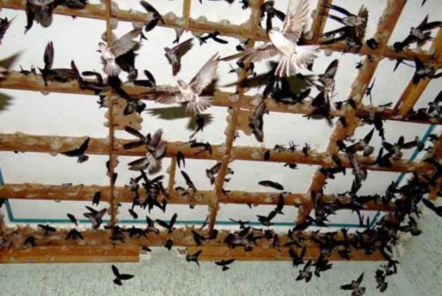 Phát triển chăn nuôi chim yến ở Việt Nam hiện nay: Thực trạng và giải pháp