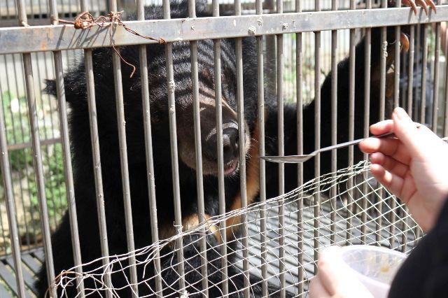 Cứu hộ khẩn một cá thể gấu ngựa tại TP Lạng Sơn