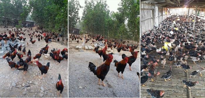 Bảo tồn và phát triển chăn nuôi bền vững giống gà tại Lạc Thủy