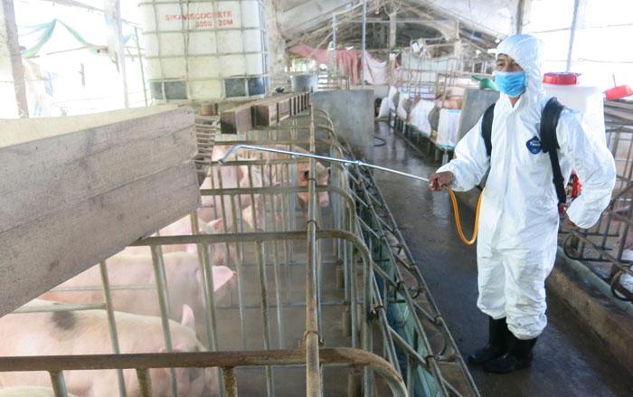 Thừa Thiên Huế: Dịch tả lợn châu Phi buộc tiêu hủy trên 40.000 con
