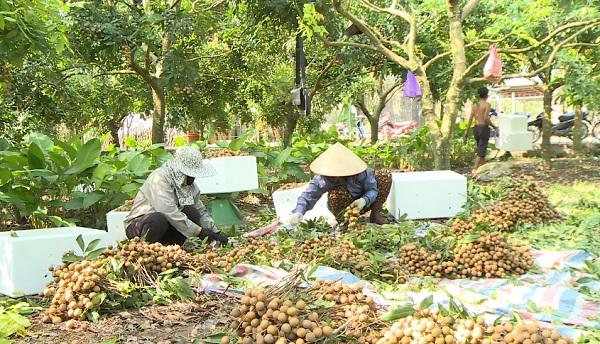Nhãn VietGap giúp nông dân tăng thu nhập