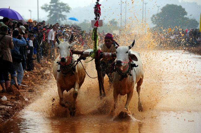 Tục đua bò của người Khmer