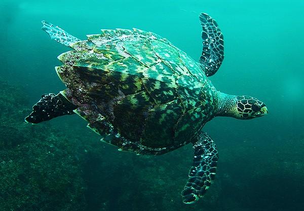 Chương trình bảo tồn các loài rùa nguy cấp