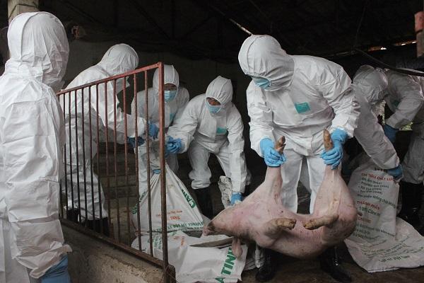 Hà Nội đã tiêu hủy hơn 540 nghìn con lợn mắc bệnh