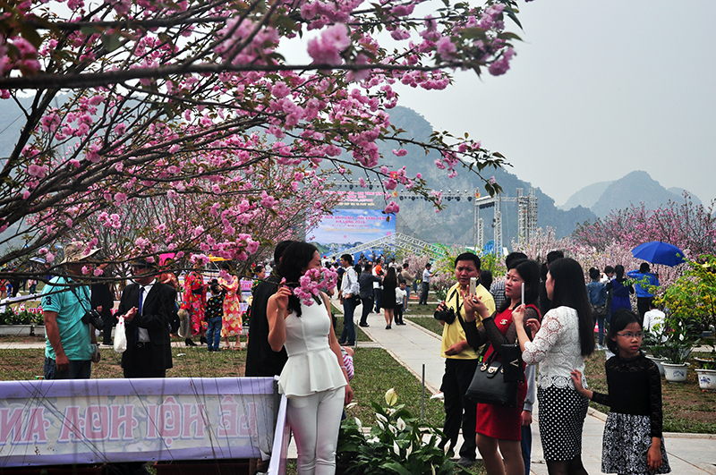 2016 Ha Long Cherry Blossom and Yen Tu Yellow Apricot Flower Festival attracted 70,000 visitors