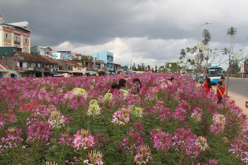 Da Lat plants 42,000 cleome trees in Light Park