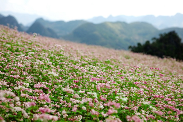 Lao Cai province to plant 10 hectares of buckwheat flowers
