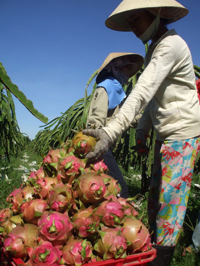 Binh Thuan's dragon fruits exported to UAE