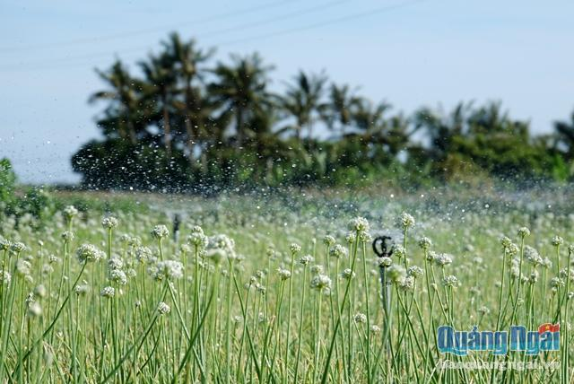 Ly Son island's beauty in onion flowers