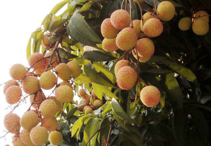 Northern litchi planters get big earnings in early season