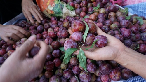 Plums help highland residents escape poverty