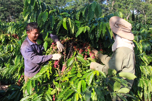 Dak Lak strives to achieve coffee export turnover of USD600-650 million by 2020