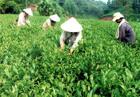 Solving trouble brewing in the Vietnam tea industry
