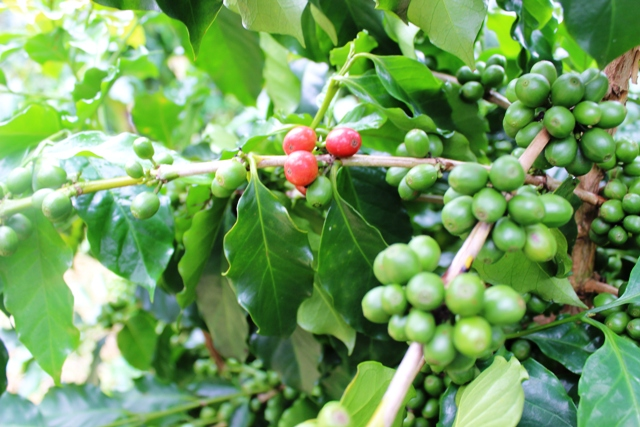 VND170 billion to build Vietnam's high-quality coffee