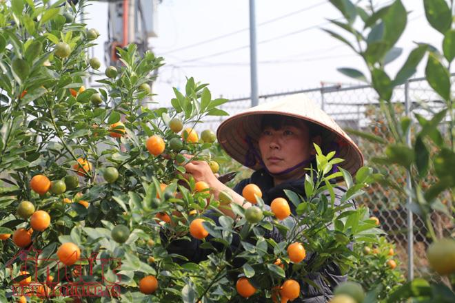 Ornamental kumquats welcome lunar New Year
