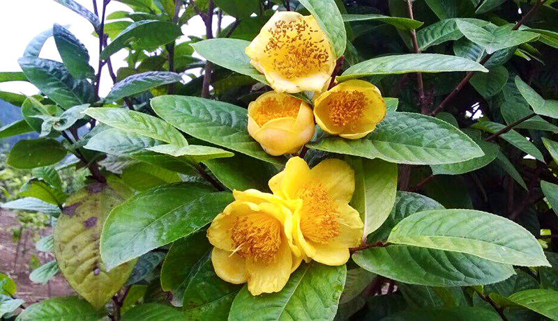 Yellow flower tea festival to be held in January 2018